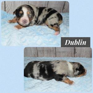 Dublin - 1 week old
